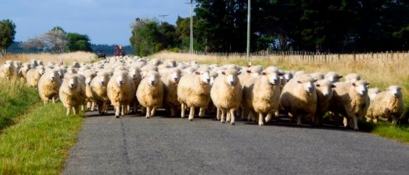 sheep-on-road2